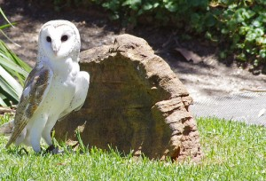 Gazing Owl